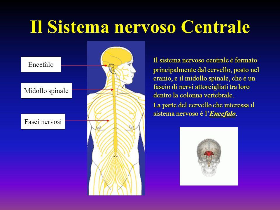 Il Sistema nervoso Centrale Il sistema nervoso centrale è formato principalmente dal cervello, posto nel cranio, e il midollo spinale, che è un fascio