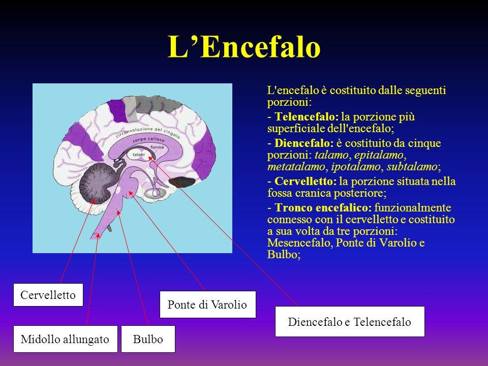 LEncefalo L'encefalo è costituito dalle seguenti porzioni: - Telencefalo: la porzione più superficiale dell'encefalo; - Diencefalo: è costituito da ci