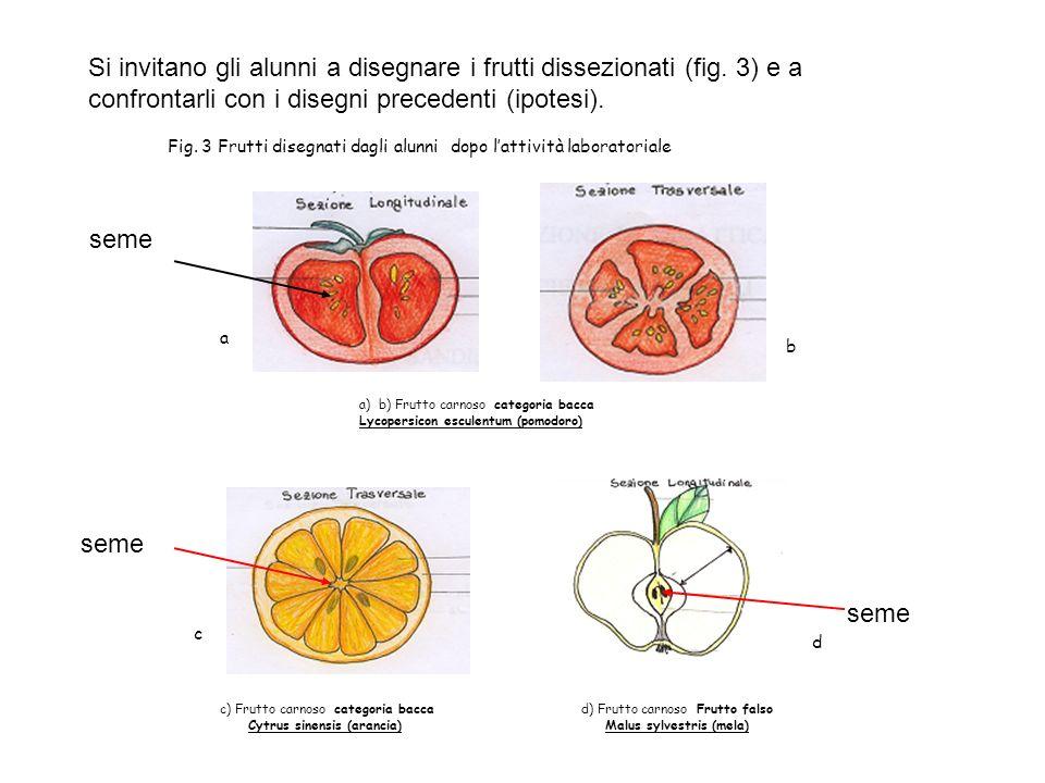 Si invitano gli alunni a disegnare i frutti dissezionati (fig. 3) e a confrontarli con i disegni precedenti (ipotesi). Fig. 3 Frutti disegnati dagli a