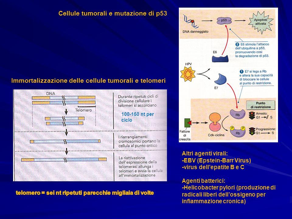 Immortalizzazione delle cellule tumorali e telomeri 100-150 nt per ciclo Cellule tumorali e mutazione di p53 Altri agenti virali: -EBV (Epstein-Barr V