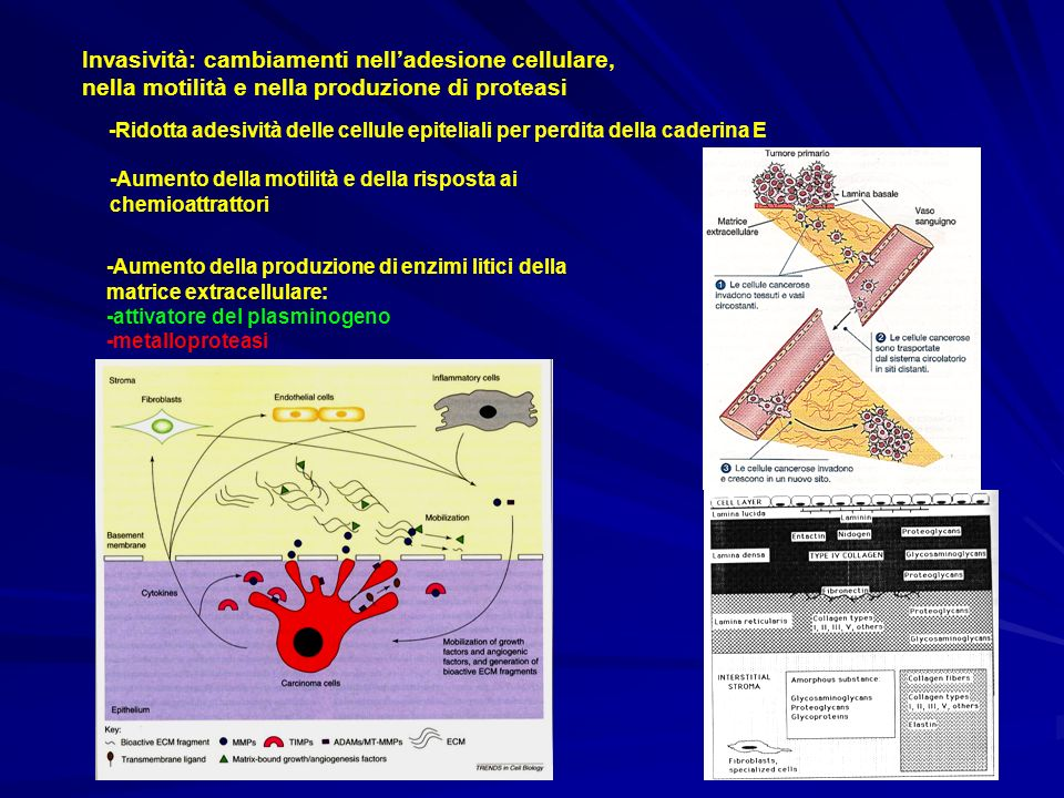 Invasività: cambiamenti nelladesione cellulare, nella motilità e nella produzione di proteasi -Ridotta adesività delle cellule epiteliali per perdita