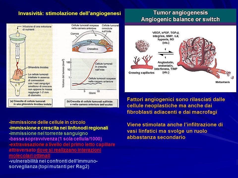 Invasività: stimolazione dellangiogenesi Fattori angiogenici sono rilasciati dalle cellule neoplastiche ma anche dai fibroblasti adiacenti e dai macro