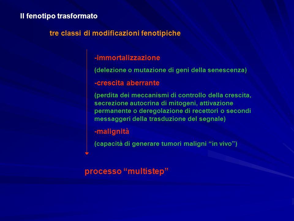 Il fenotipo trasformato tre classi di modificazioni fenotipiche processo multistep -immortalizzazione (delezione o mutazione di geni della senescenza)
