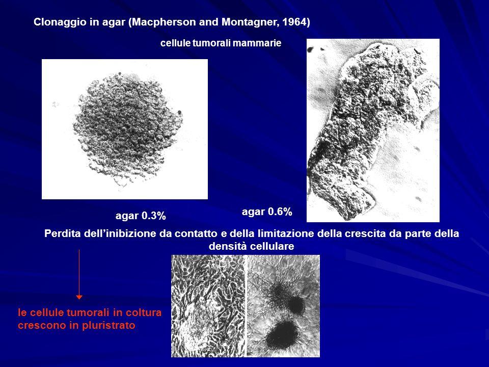 Clonaggio in agar (Macpherson and Montagner, 1964) cellule tumorali mammarie agar 0.3% agar 0.6% Perdita dellinibizione da contatto e della limitazion