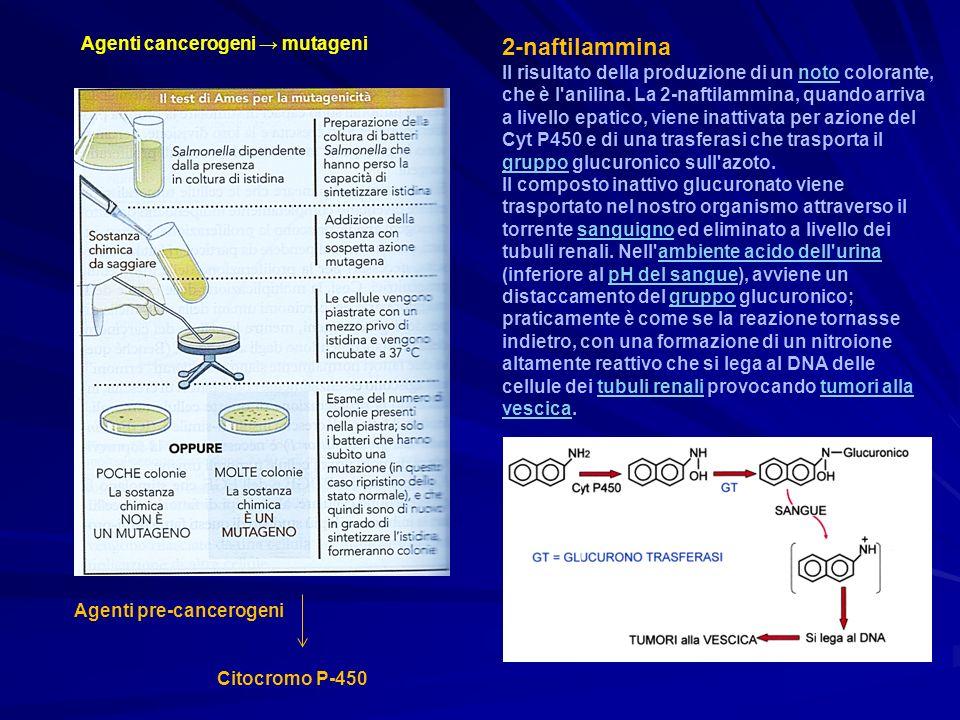 Agenti cancerogeni mutageni Agenti pre-cancerogeni Citocromo P-450 2-naftilammina Il risultato della produzione di un noto colorante, che è l'anilina.