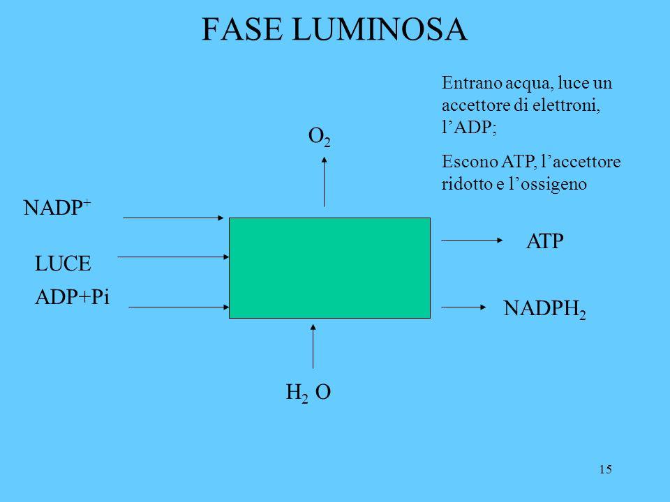 15 FASE LUMINOSA LUCE ADP+Pi H 2 O ATP NADP + NADPH 2 O2O2 Entrano acqua, luce un accettore di elettroni, lADP; Escono ATP, laccettore ridotto e lossigeno