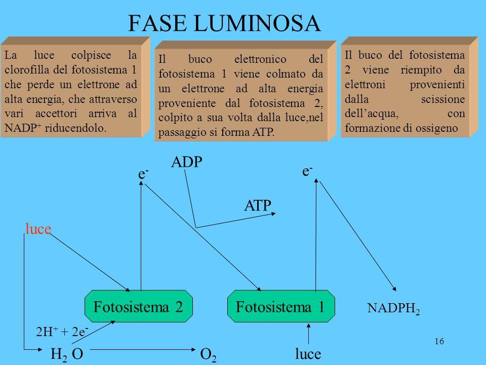 16 FASE LUMINOSA Fotosistema 2 e-e- Fotosistema 1 ADP ATP NADPH 2 e-e- H 2 OO2O2 2H + + 2e - luce La luce colpisce la clorofilla del fotosistema 1 che perde un elettrone ad alta energia, che attraverso vari accettori arriva al NADP + riducendolo.