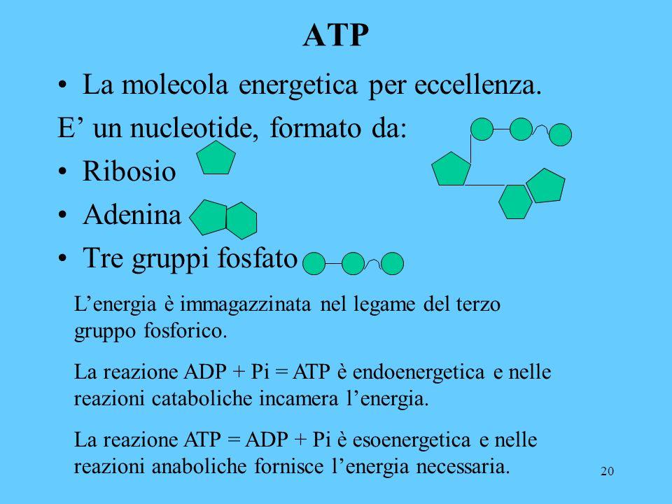 20 ATP La molecola energetica per eccellenza.
