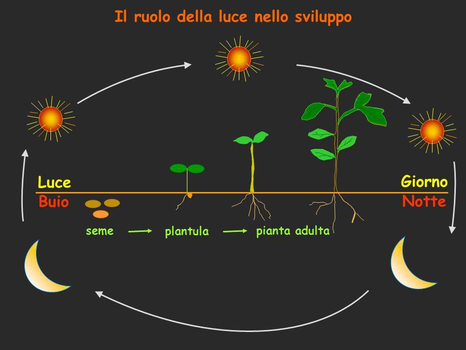 La funzione dei fitocromi è basata sulla capacità di interconversione reversibile tra la forma Pr e quella Pfr: La forma Pr, biologicamente inattiva, assorbe luce rossa (R) La forma Pfr, biologicamente attiva, assorbe luce rosso lontano (FR) La percezione del segnale luminoso è seguita da un cambio conformazionale La percezione del segnale luminoso attiva poi vie di trasduzione del segnale I fitocromi quindi fungono da sensori del rapporto R/FR nellambiente: normalmente R/FR ~ 1.2 le strutture fotosintetiche assorbono R, indi il rapporto diminuisce Il rapporto R/FR è indicativo anche della densità di popolazione I fitocromi si dividono in 2 classi: tipo I, instabile alla luce (phyA) tipo II, stabile alla luce (phyB-E)