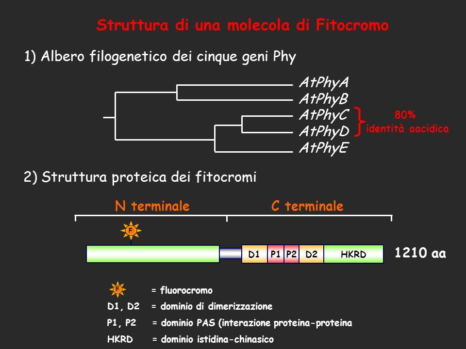 AtPhyE AtPhyD AtPhyC AtPhyB AtPhyA 1) Albero filogenetico dei cinque geni Phy N terminale C terminale D1P1D2P2HKRD F = fluorocromo D1, D2 = dominio di