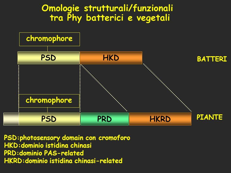 PSDHKD HKRD PSD PRD chromophore PSD:photosensory domain con cromoforo HKD:dominio istidina chinasi PRD:dominio PAS-related HKRD:dominio istidina china