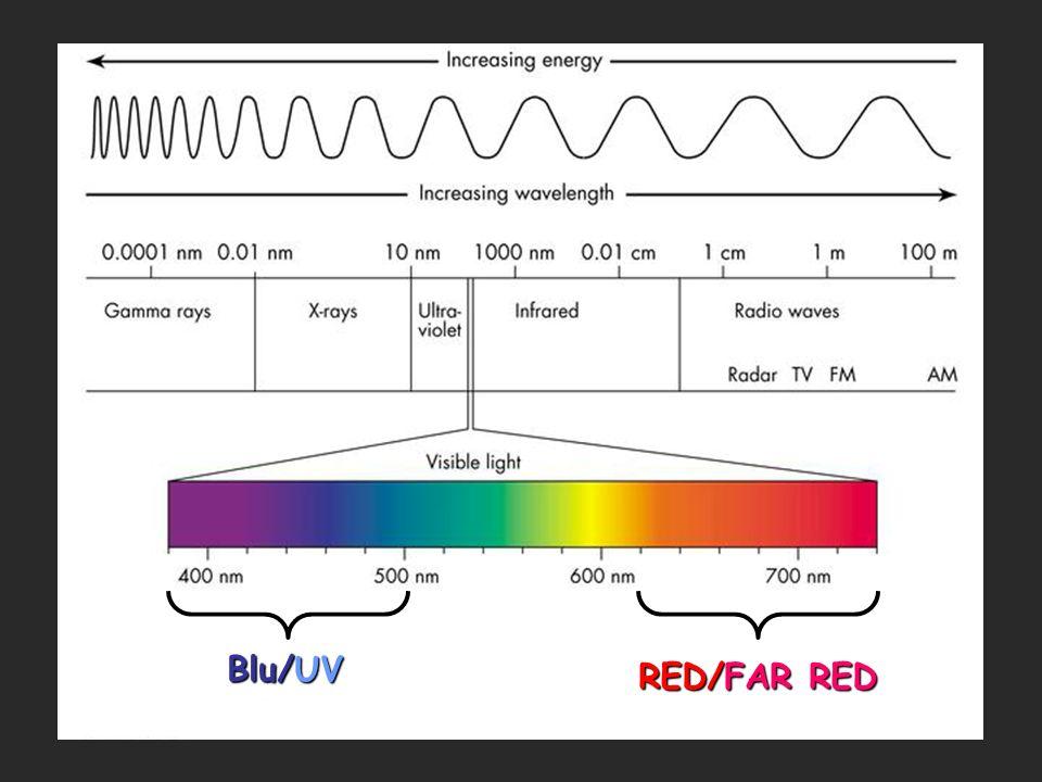 La percezione della luce avviene attraverso 3 classi di fotorecettori, che agiscono in modo indipendente e cooperativo: FOTOTROPINE (Phot 1 e 2 in Arabidopsis) CRIPTOCROMI (Cry 1, 2, 3 in Arabidopsis) FITOCROMI (PhyA,B,C,D,E ) R UV-B (caratterizzati mediante spettroscopia)