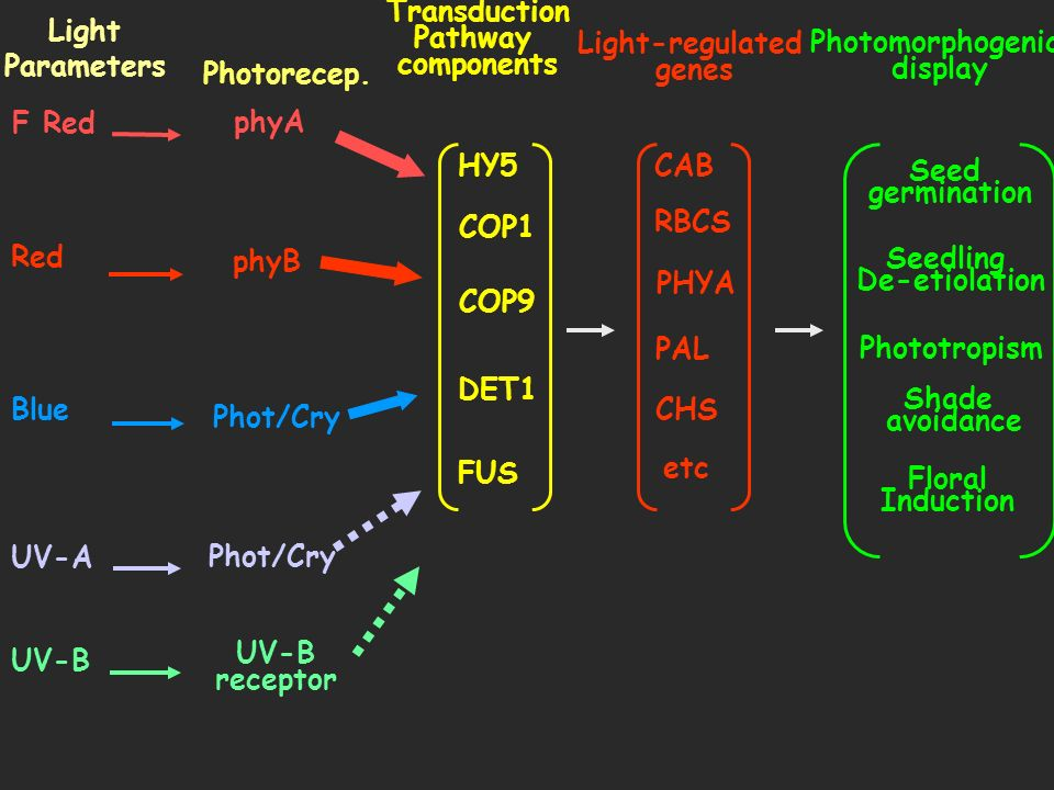 UV-B UV-A Blue Red F Red Light Parameters Photorecep. phyA phyB Phot/Cry UV-B receptor Transduction Pathway components HY5 COP1 COP9 DET1 FUS Light-re