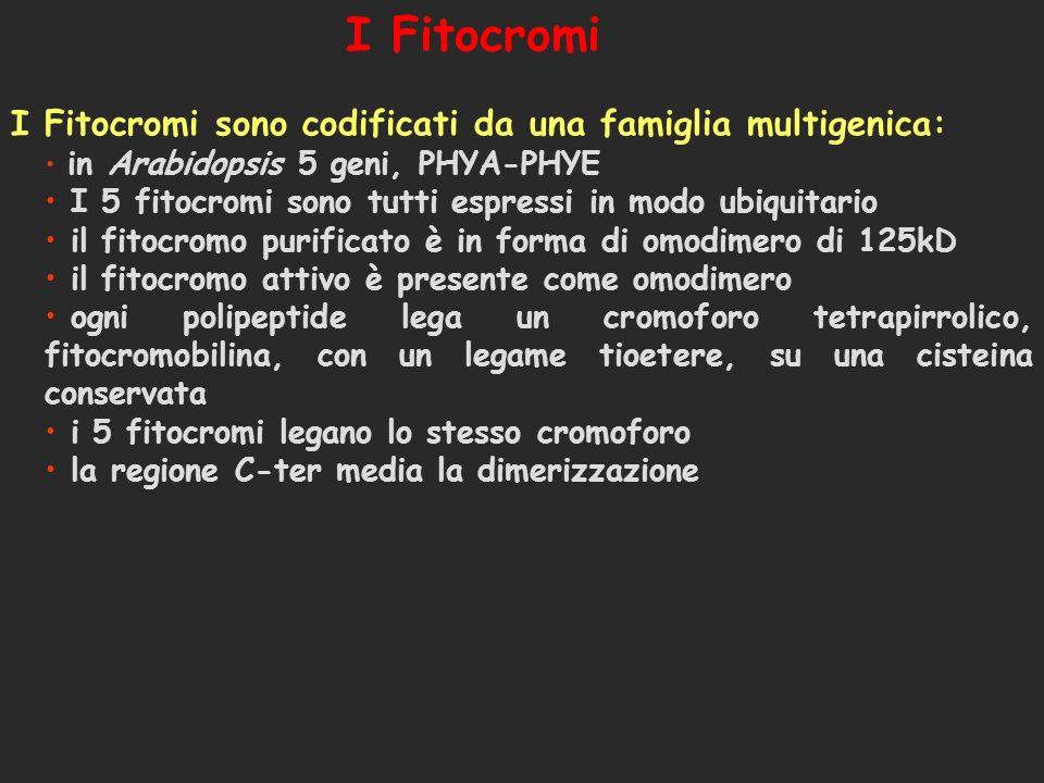 AtPhyE AtPhyD AtPhyC AtPhyB AtPhyA 1) Albero filogenetico dei cinque geni Phy N terminale C terminale D1P1D2P2HKRD F = fluorocromo D1, D2 = dominio di dimerizzazione P1, P2 = dominio PAS (interazione proteina-proteina HKRD = dominio istidina-chinasico F 2) Struttura proteica dei fitocromi Struttura di una molecola di Fitocromo 80% identità aacidica 1210 aa