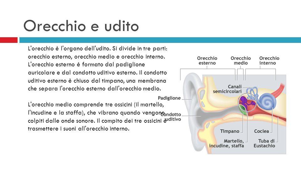 L'orecchio è l'organo dell'udito. Si divide in tre parti: orecchio esterno, orecchio medio e orecchio interno. L'orecchio esterno è formato dal padigl