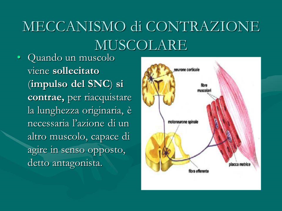 MECCANISMO di CONTRAZIONE MUSCOLARE Quando un muscolo viene sollecitato (impulso del SNC) si contrae, per riacquistare la lunghezza originaria, è nece