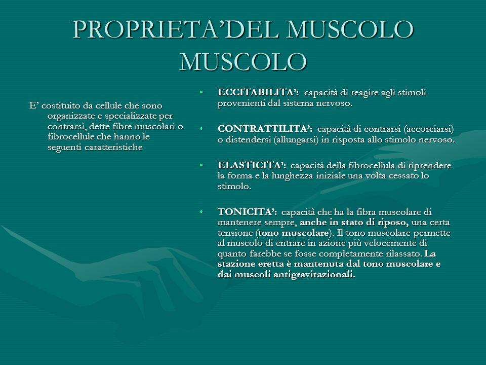 PROPRIETADEL MUSCOLO MUSCOLO E costituito da cellule che sono organizzate e specializzate per contrarsi, dette fibre muscolari o fibrocellule che hann