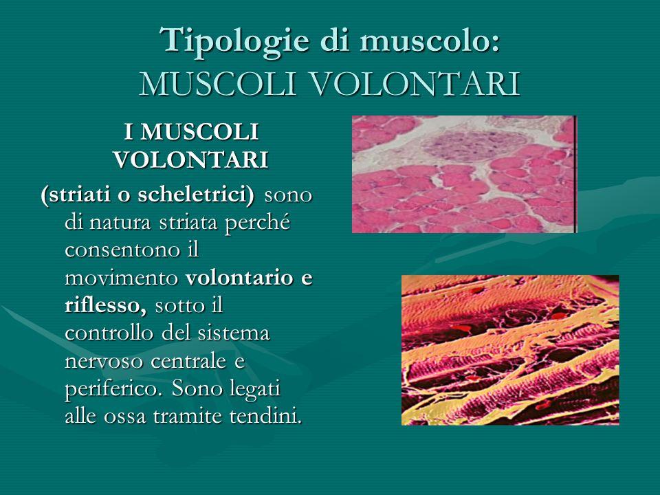 Tipologie di muscolo: MUSCOLI VOLONTARI I MUSCOLI VOLONTARI I MUSCOLI VOLONTARI (striati o scheletrici) sono di natura striata perché consentono il mo