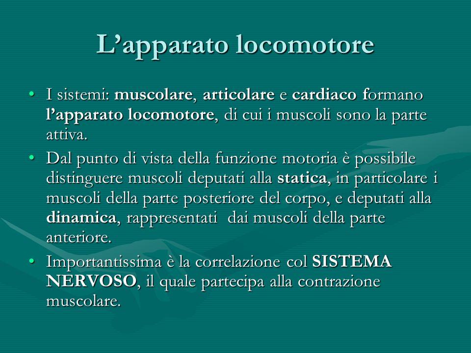 Lapparato locomotore I sistemi: muscolare, articolare e cardiaco formano lapparato locomotore, di cui i muscoli sono la parte attiva.I sistemi: muscol
