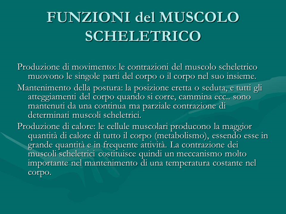 FUNZIONI del MUSCOLO SCHELETRICO Produzione di movimento: le contrazioni del muscolo scheletrico muovono le singole parti del corpo o il corpo nel suo