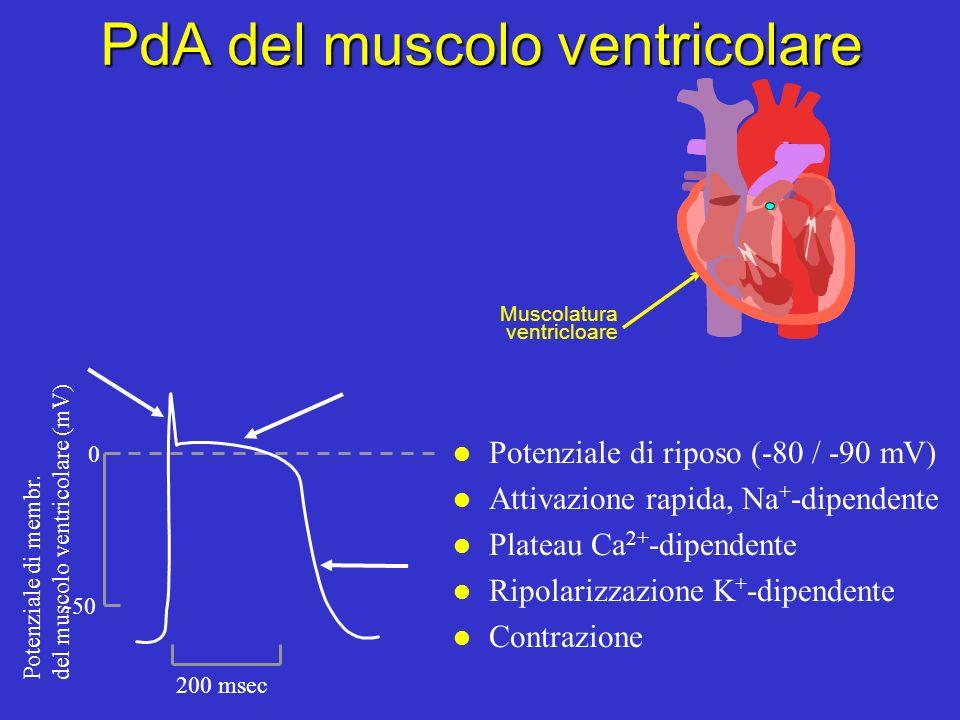 Potenziale dazione delle fibre del Purkinje l Un altro pacemaker latente l Attivazione rapida, Na + -dipendente l Plateau Ca 2+ -dipendente l Ripolari