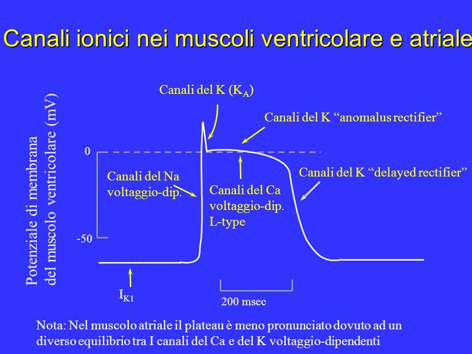 Il lunghissimo plateau del pda dei miociti ventricolari è funzionalmente importante per due buone ragioni: a) il Ca2+ che entra attraverso i canali (L