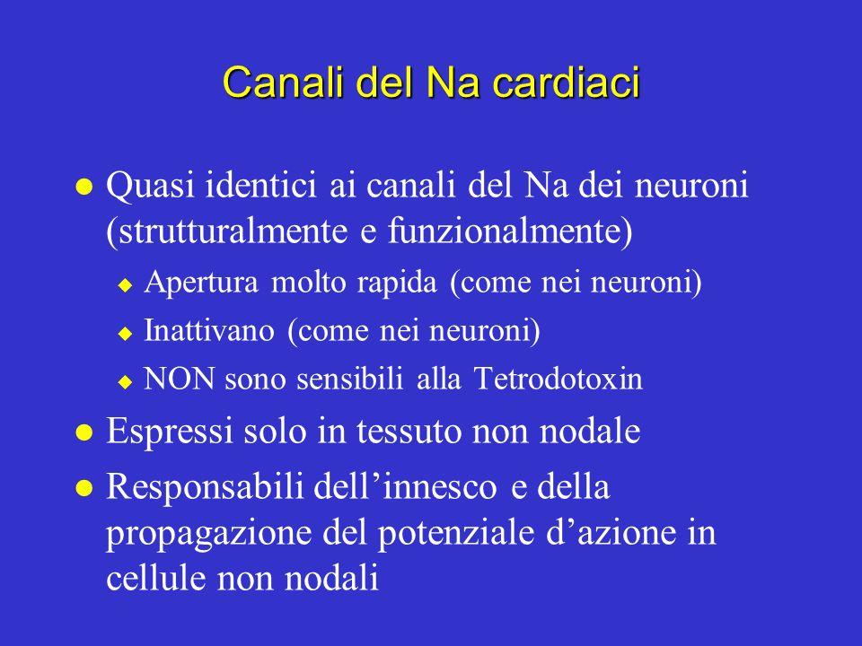 Canali ionici nei muscoli ventricolare e atriale Potenziale di membrana del muscolo ventricolare (mV) -50 0 200 msec Canali del K (K A ) Canali del K