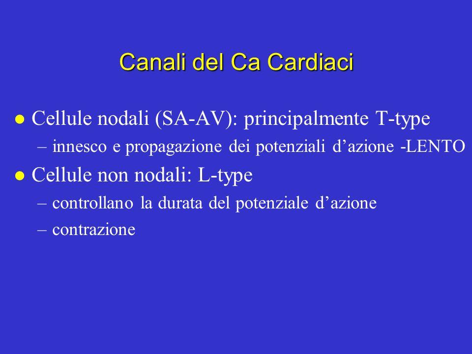 Canali del Na cardiaci l Quasi identici ai canali del Na dei neuroni (strutturalmente e funzionalmente) Apertura molto rapida (come nei neuroni) Inatt