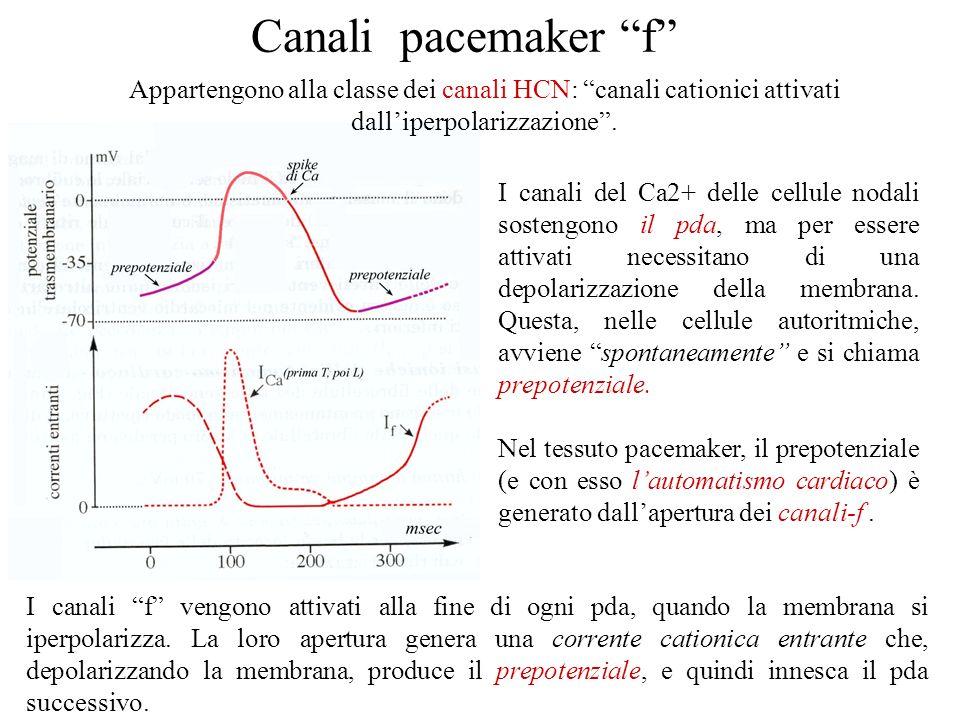 Canali del Ca Cardiaci l Cellule nodali (SA-AV): principalmente T-type –innesco e propagazione dei potenziali dazione -LENTO l Cellule non nodali: L-t