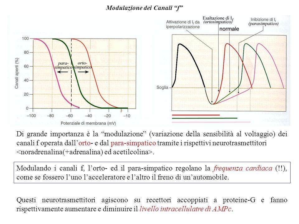 Canali pacemaker f I canali del Ca2+ delle cellule nodali sostengono il pda, ma per essere attivati necessitano di una depolarizzazione della membrana