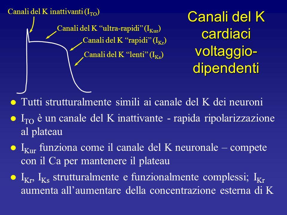 Canali ionici nel muscolo ventricolare Corrente Corrente di Na Corrente di Ca I K1 I TO I Kur I Ks I Kr Geni SCNA5 CACNL1A1 Kir2.1 (KCNJ2) Kv4.3 (KCND
