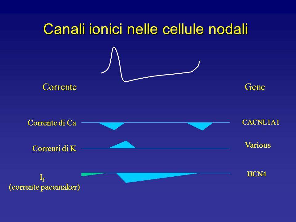 Ruolo dellInward Rectifier l Espresso primariamente nel tessuto non nodale l Stabilisce il potenziale di riposo nei muscoli atriali e ventricolari l C