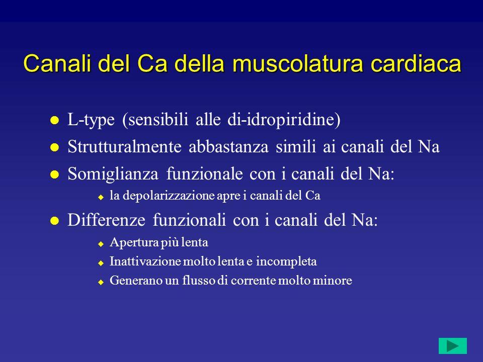 Canali ionici nelle cellule nodali Corrente di Ca CACNL1A1 Correnti di K CorrenteGene Various HCN4 I f (corrente pacemaker)