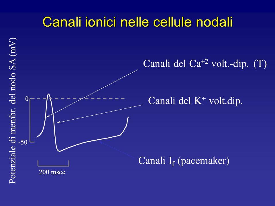 Canali ionici nel cuore Ruolo fisiologico Obiettivi da comprendere Le più importanti proprietà dei canali ionici nelle diverse regioni del cuore Il ru