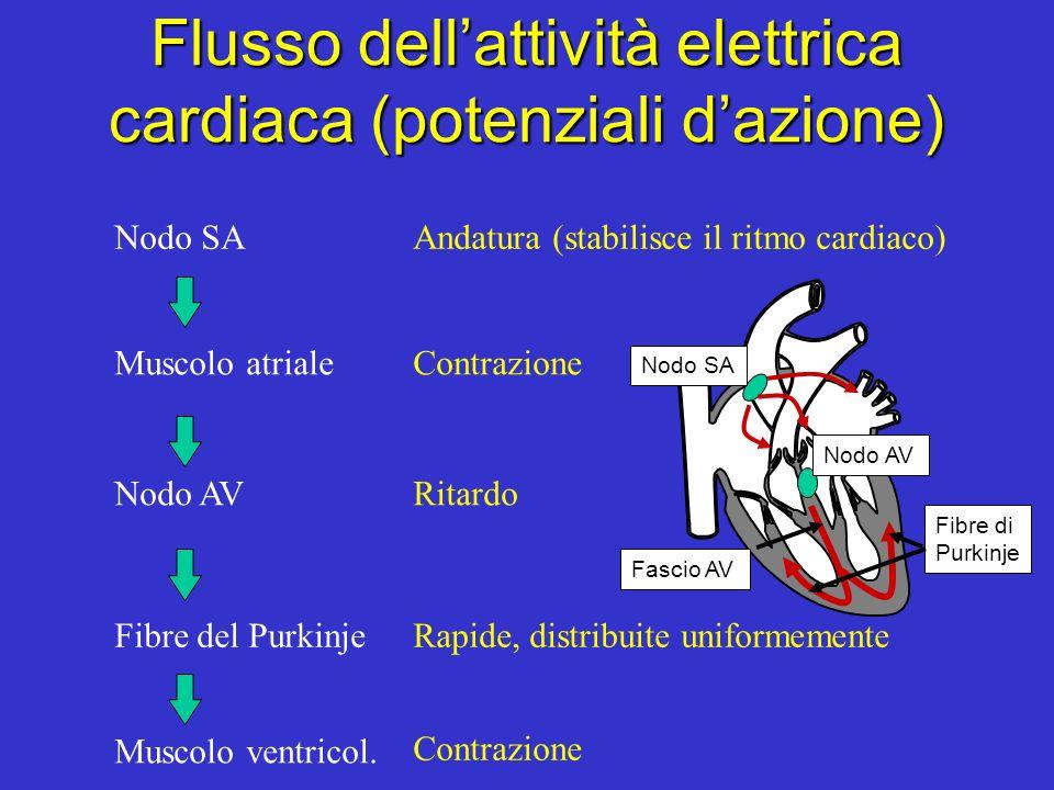 Flusso dellattività elettrica cardiaca (potenziali dazione) Nodo SAAndatura (stabilisce il ritmo cardiaco) Muscolo atrialeContrazione Nodo AVRitardo Fibre del PurkinjeRapide, distribuite uniformemente Muscolo ventricol.