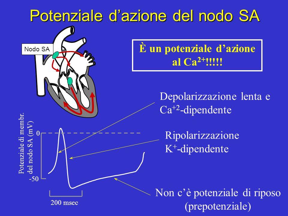 Flusso dellattività elettrica cardiaca (potenziali dazione) Nodo SAAndatura (stabilisce il ritmo cardiaco) Muscolo atrialeContrazione Nodo AVRitardo F