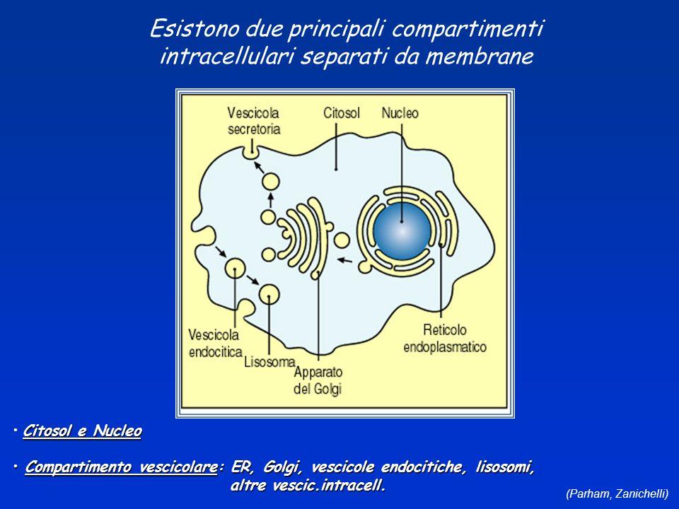 (Parham, Zanichelli) Esistono due principali compartimenti intracellulari separati da membrane Citosol e Nucleo Compartimento vescicolare: ER, Golgi,