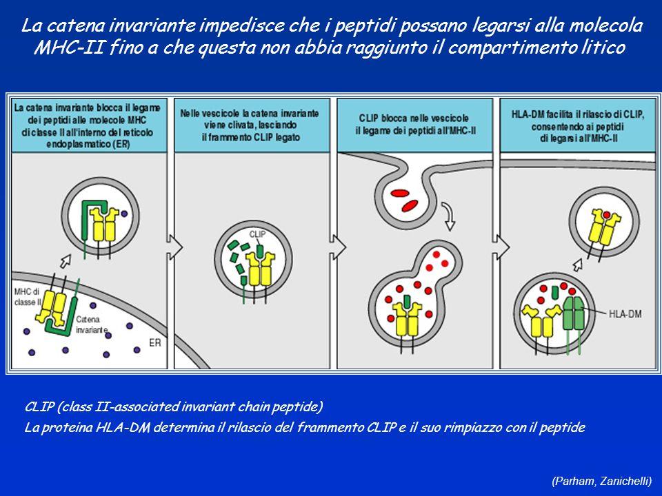 (Parham, Zanichelli) La catena invariante impedisce che i peptidi possano legarsi alla molecola MHC-II fino a che questa non abbia raggiunto il compar