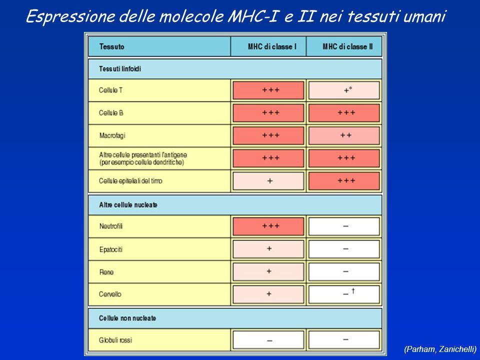 (Parham, Zanichelli) Espressione delle molecole MHC-I e II nei tessuti umani