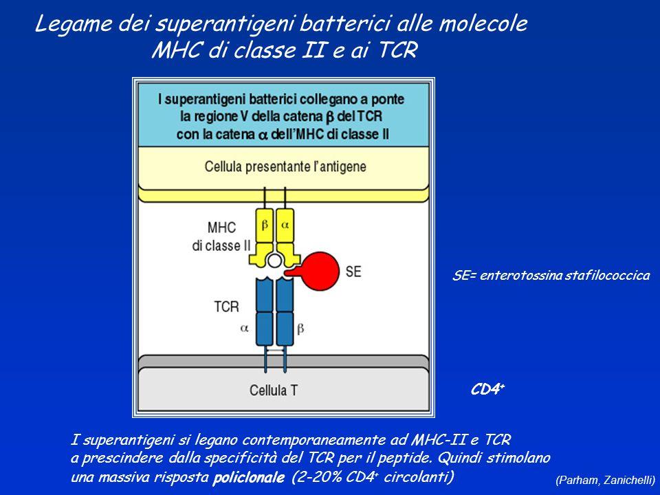 (Parham, Zanichelli) Legame dei superantigeni batterici alle molecole MHC di classe II e ai TCR SE= enterotossina stafilococcica I superantigeni si le