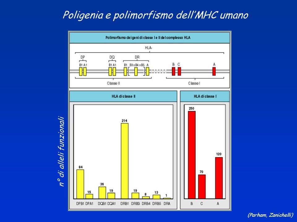 (Parham, Zanichelli) Poligenia e polimorfismo dellMHC umano n° di alleli funzionali