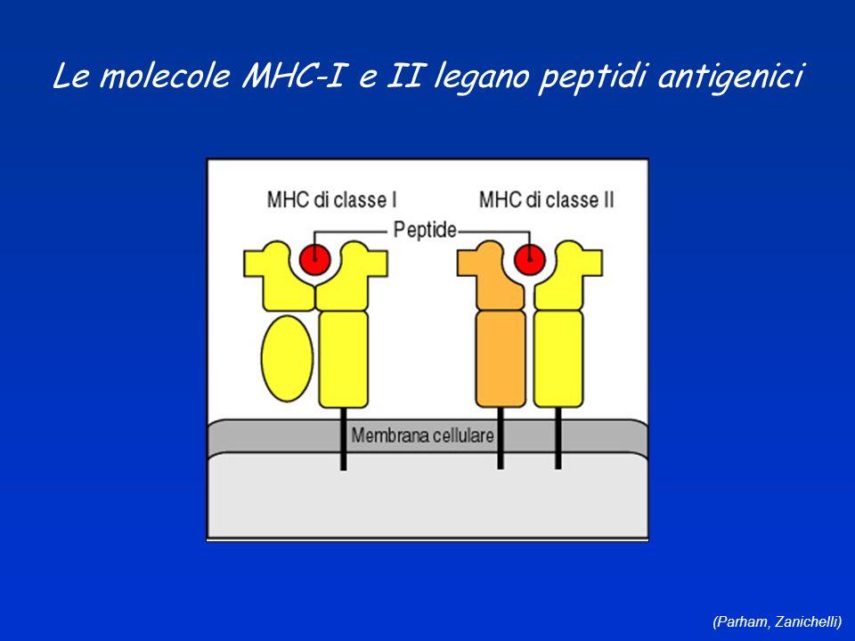 (Parham, Zanichelli) Le molecole MHC-I e II legano peptidi antigenici