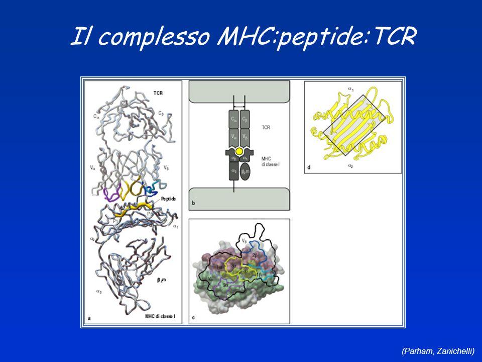 (Parham, Zanichelli) Il complesso MHC:peptide:TCR