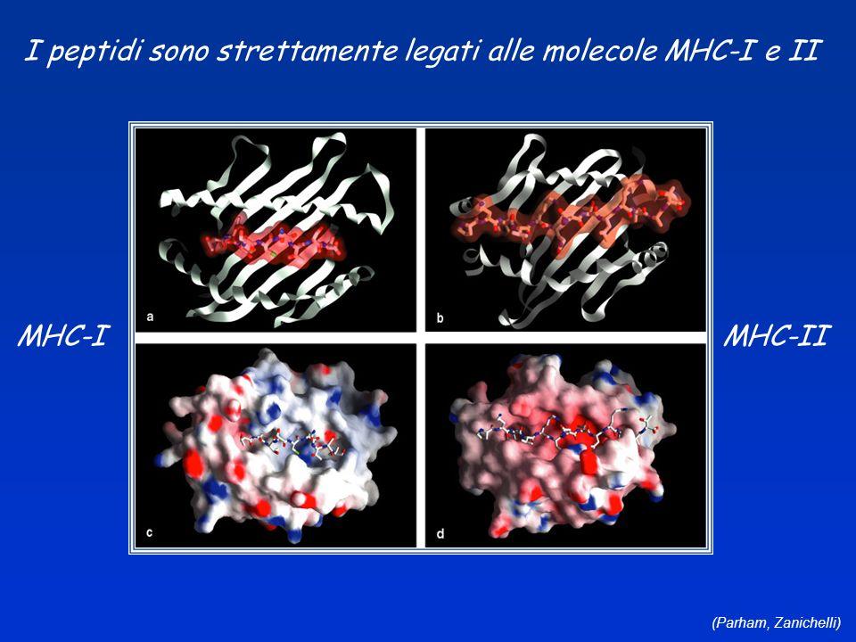 (Parham, Zanichelli) I peptidi sono strettamente legati alle molecole MHC-I e II MHC-IMHC-II