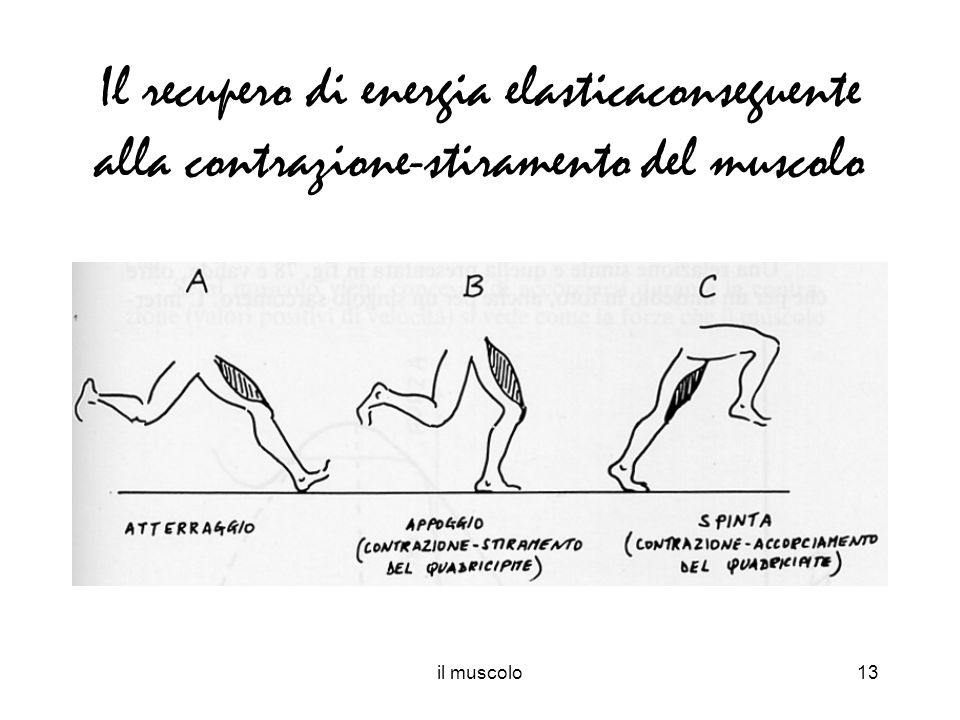 il muscolo13 Il recupero di energia elasticaconseguente alla contrazione-stiramento del muscolo