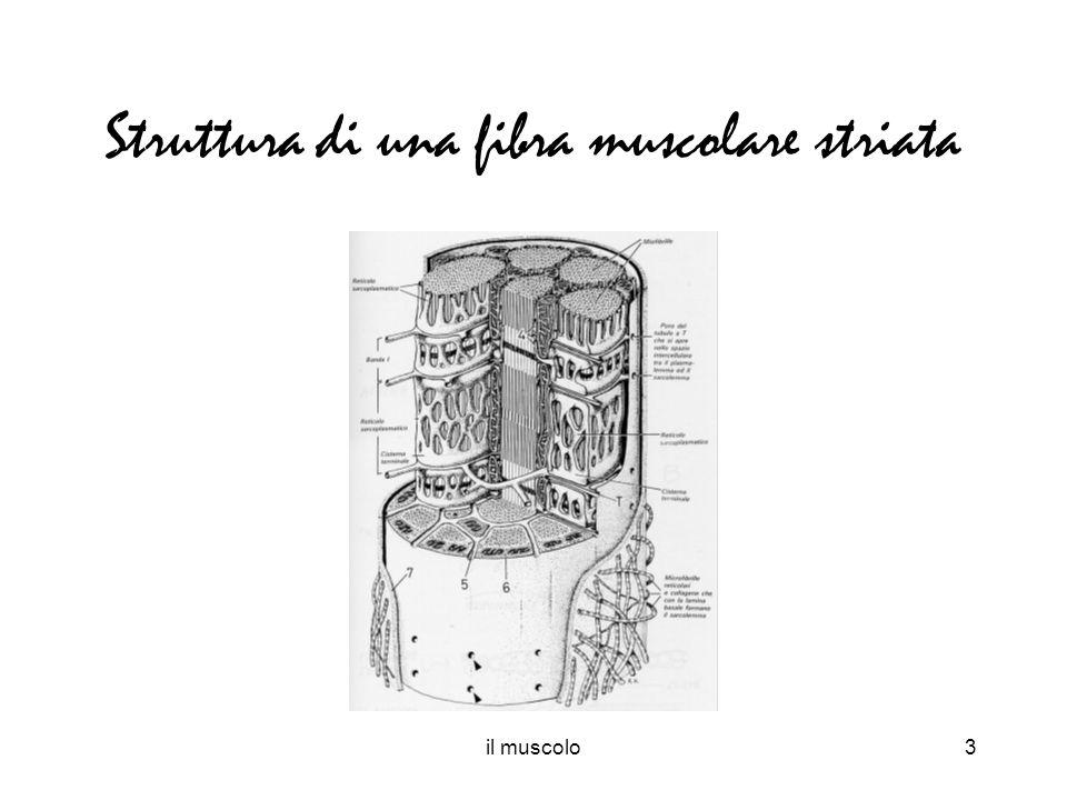 il muscolo3 Struttura di una fibra muscolare striata