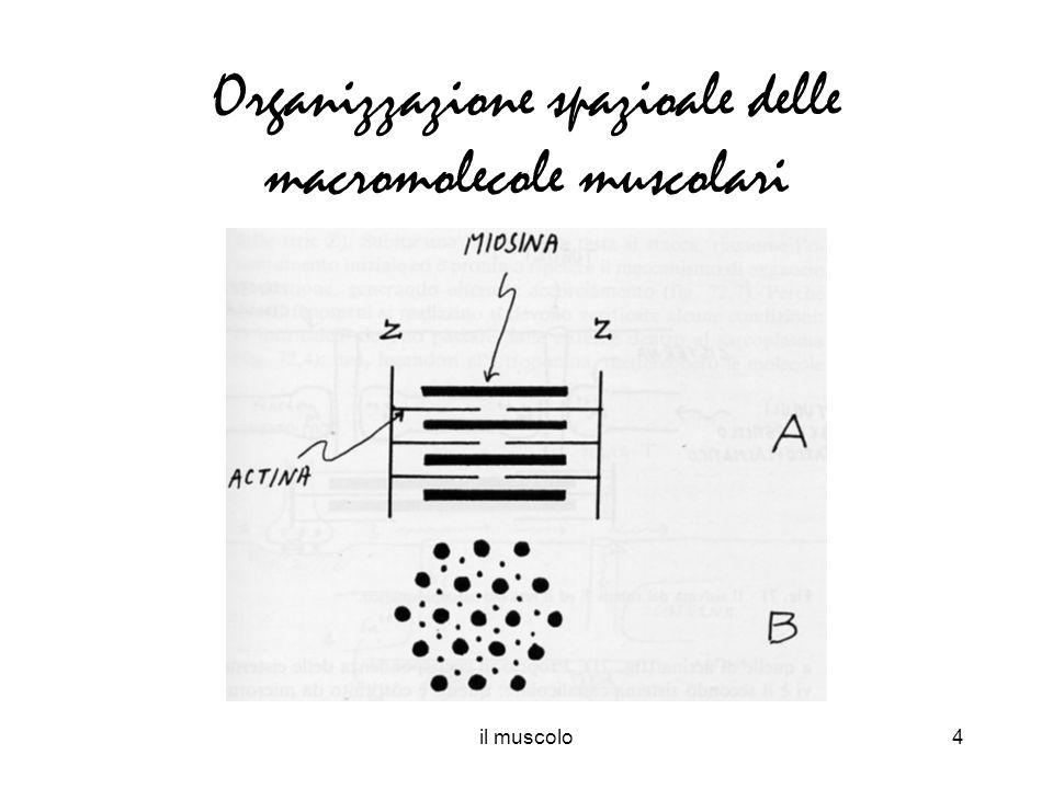 il muscolo4 Organizzazione spazioale delle macromolecole muscolari