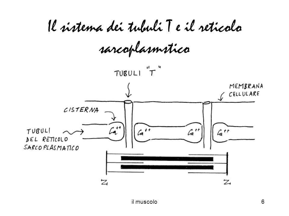 il muscolo6 Il sistema dei tubuli T e il reticolo sarcoplasmstico