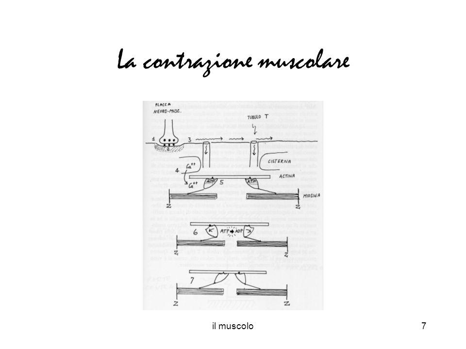 il muscolo7 La contrazione muscolare