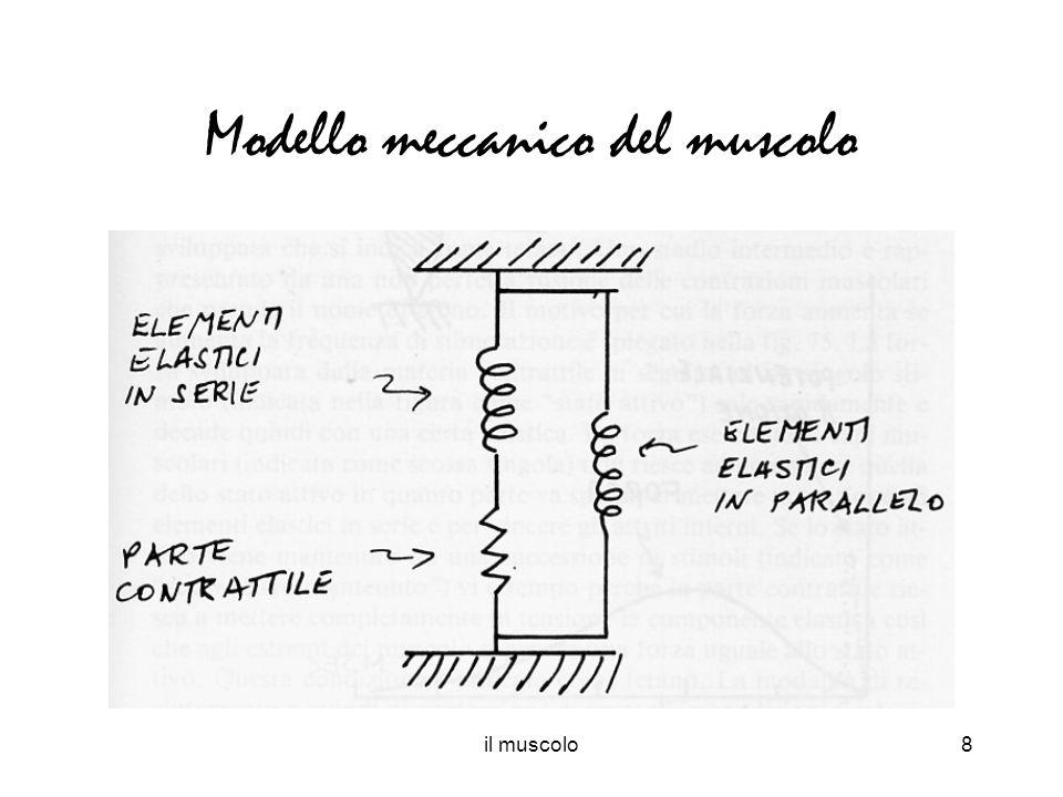 il muscolo8 Modello meccanico del muscolo
